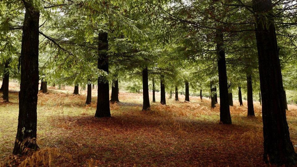 bosque sequoias